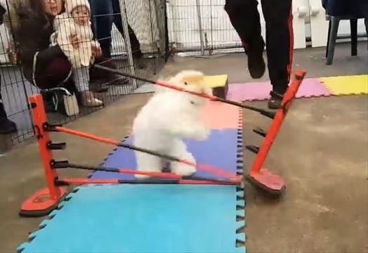 障害物レースで大胆な方法で障害物を突破するウサギ1
