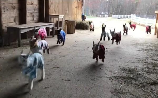 元気いっぱいな赤ちゃんヤギたちのパジャマパーティーが可愛い!10