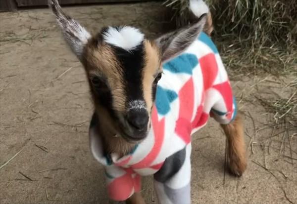 元気いっぱいな赤ちゃんヤギたちのパジャマパーティーが可愛い!2