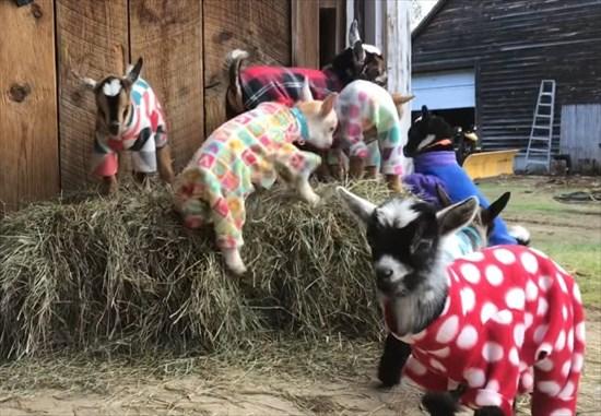 元気いっぱいな赤ちゃんヤギたちのパジャマパーティーが可愛い!1