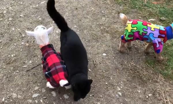 元気いっぱいな赤ちゃんヤギたちのパジャマパーティーが可愛い!7