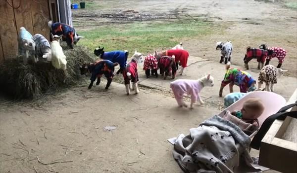 元気いっぱいな赤ちゃんヤギたちのパジャマパーティーが可愛い!8