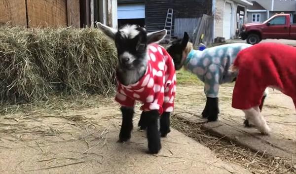元気いっぱいな赤ちゃんヤギたちのパジャマパーティーが可愛い!4