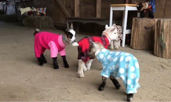 元気いっぱいな赤ちゃんヤギたちのパジャマパーティーが可愛い!5