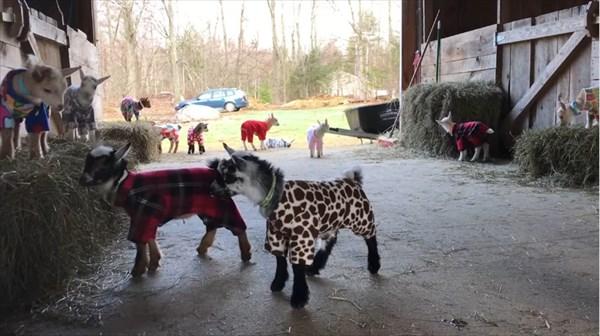元気いっぱいな赤ちゃんヤギたちのパジャマパーティーが可愛い!9