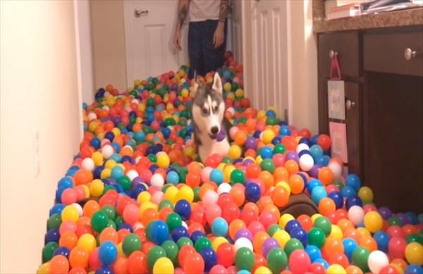 5400個のカラーボールにハスキー犬大はしゃぎ 1