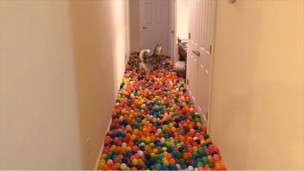 5400個のカラーボールにハスキー犬大はしゃぎ 2