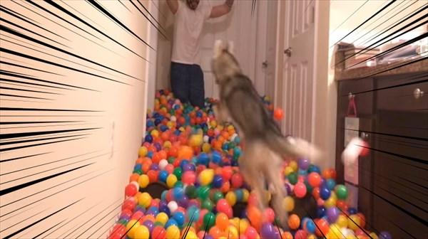 5400個のカラーボールにハスキー犬大はしゃぎ 3