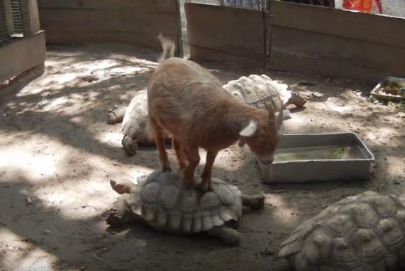 アニマルタクシー!動物を乗りこなす動物たち11