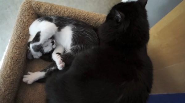 いつも一緒に寝る2匹の猫 写真8