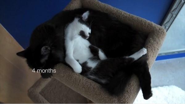 いつも一緒に寝る2匹の猫 写真7