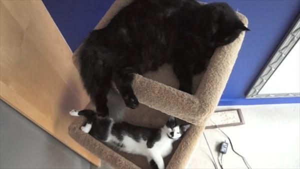 いつも一緒に寝る2匹の猫 写真16