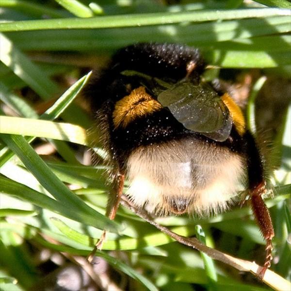 マルハナバチの可愛いお尻画像10