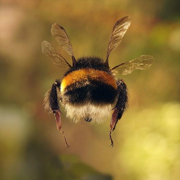 マルハナバチの可愛いお尻画像15
