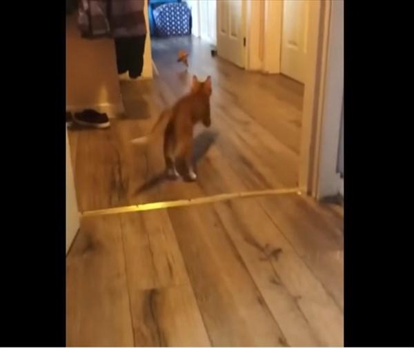 犬のように取って来い遊びをする猫 3