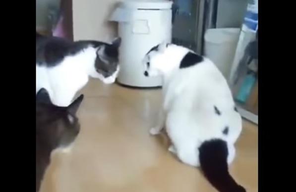 ケンカの仲裁をするぽっちゃり猫 1