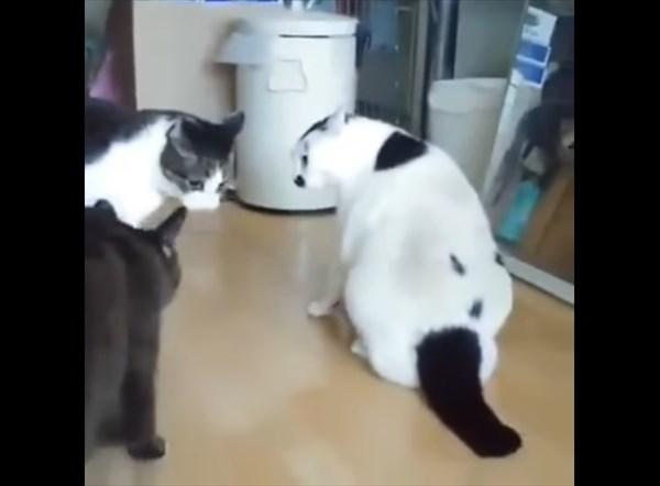 ケンカの仲裁をするぽっちゃり猫 3