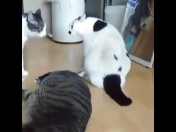 ケンカの仲裁をするぽっちゃり猫 4