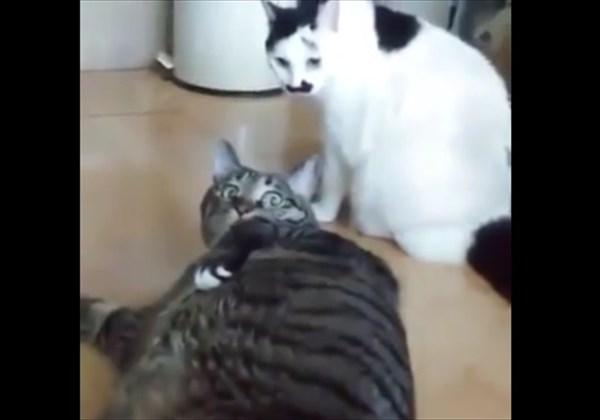 ケンカの仲裁をするぽっちゃり猫 6