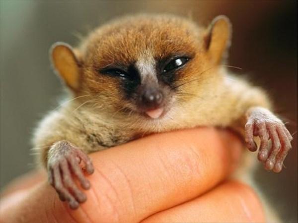 世界最小の猿「ピグミーネズミキツネザル」