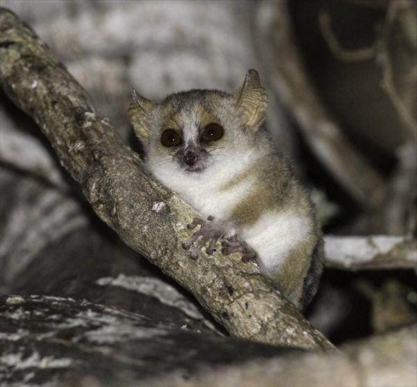 世界最小の霊長類「ピグミーネズミキツネザル」6