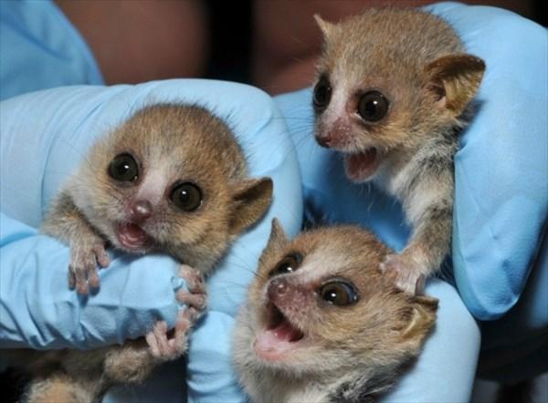 世界最小の霊長類「ピグミーネズミキツネザル」5