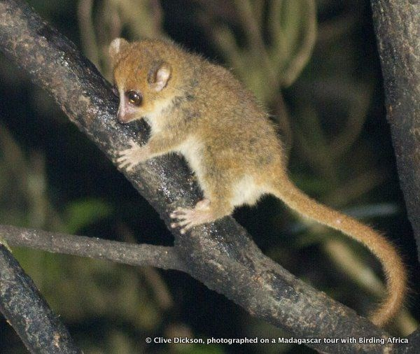 世界最小の霊長類「ピグミーネズミキツネザル」