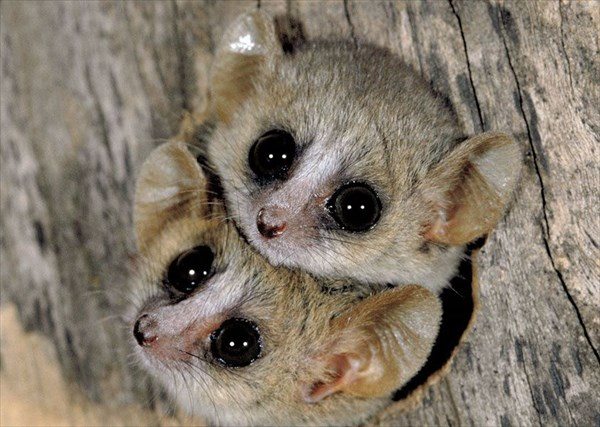 世界最小の霊長類「ピグミーネズミキツネザル」4