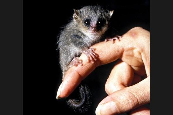 世界最小の猿「ピグミーネズミキツネザル」1