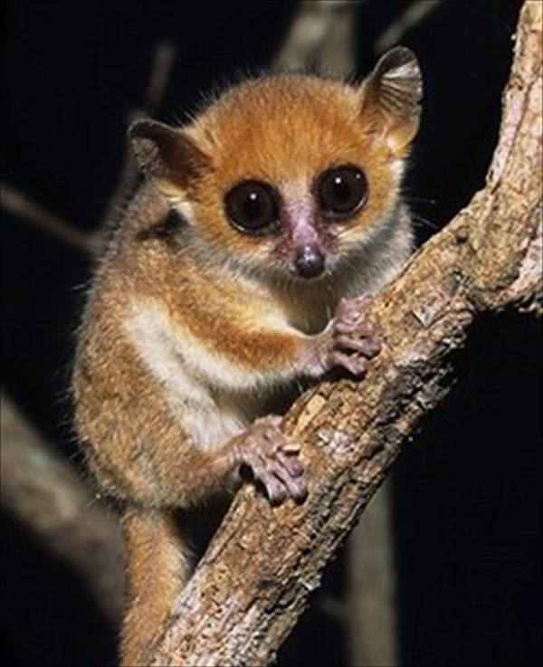世界最小の猿「ピグミーネズミキツネザル」3