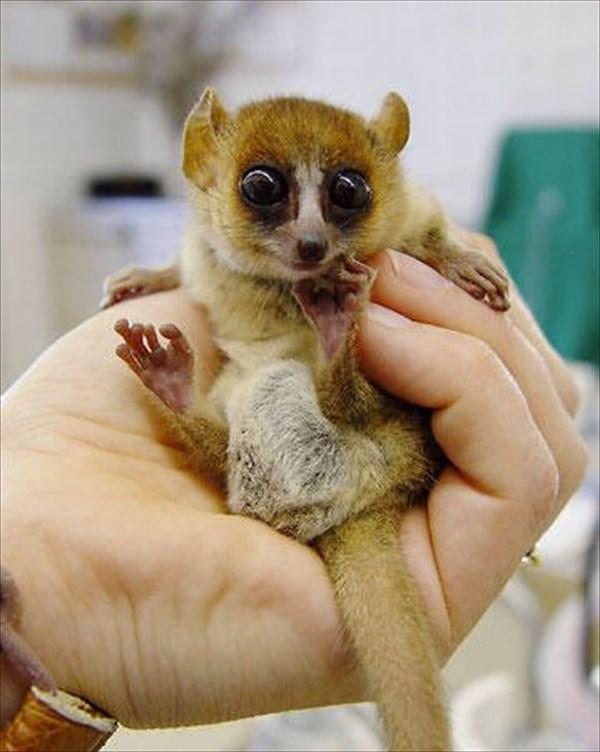世界最小の霊長類「ピグミーネズミキツネザル」2