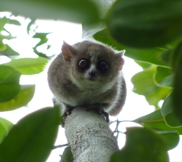 世界最小の霊長類「ピグミーネズミキツネザル」3