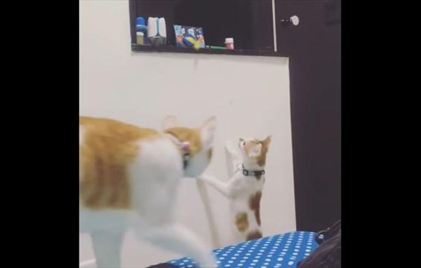 弟の為にオモチャを取ってあげる優しい姉猫1