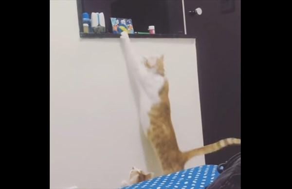 弟の為にオモチャを取ってあげる優しい姉猫4