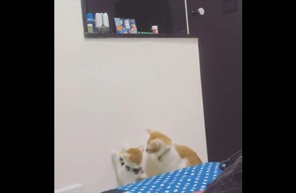弟の為にオモチャを取ってあげる優しい姉猫5
