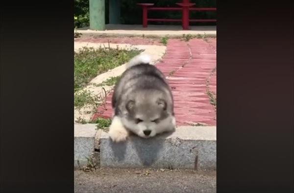 小さい段差が降りられない子犬の可愛さに悶絶する人続出