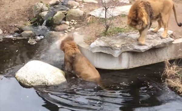 ライオンのドジが可愛い10