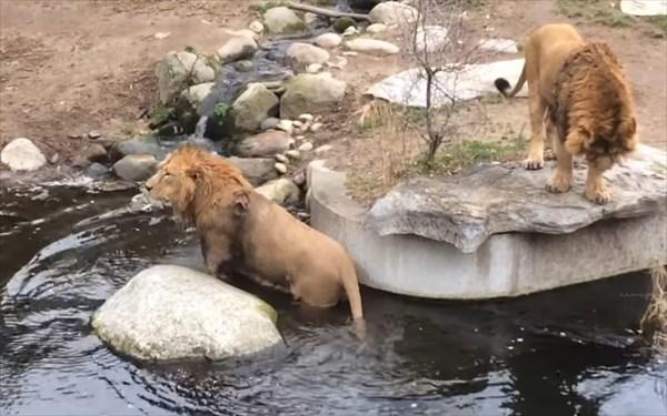 ライオンのドジが可愛い11