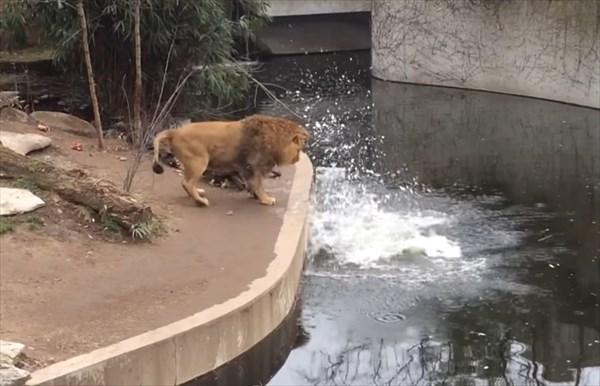 ライオンのドジが可愛い5