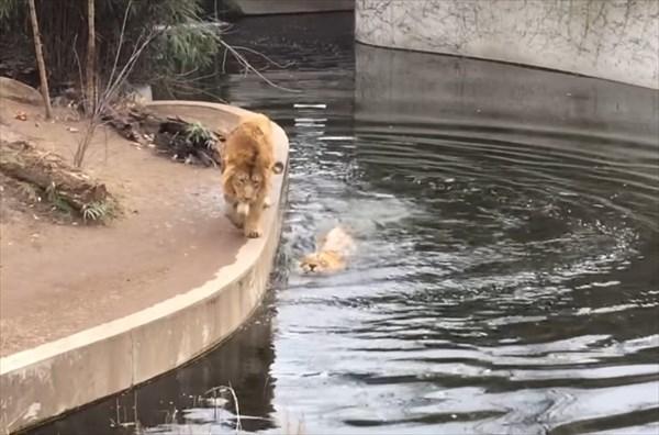 ライオンのドジが可愛い8