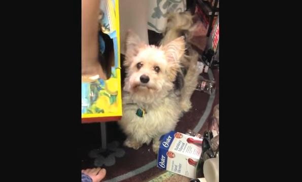 ウェスティのミックス犬が・・・新しい遊びに目覚める!1