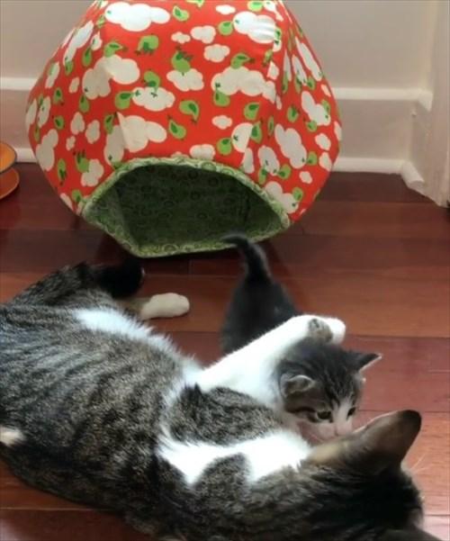ママ猫を探し見つけたときの反応が可愛い子猫5