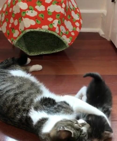 ママ猫を探し見つけたときの反応が可愛い子猫6