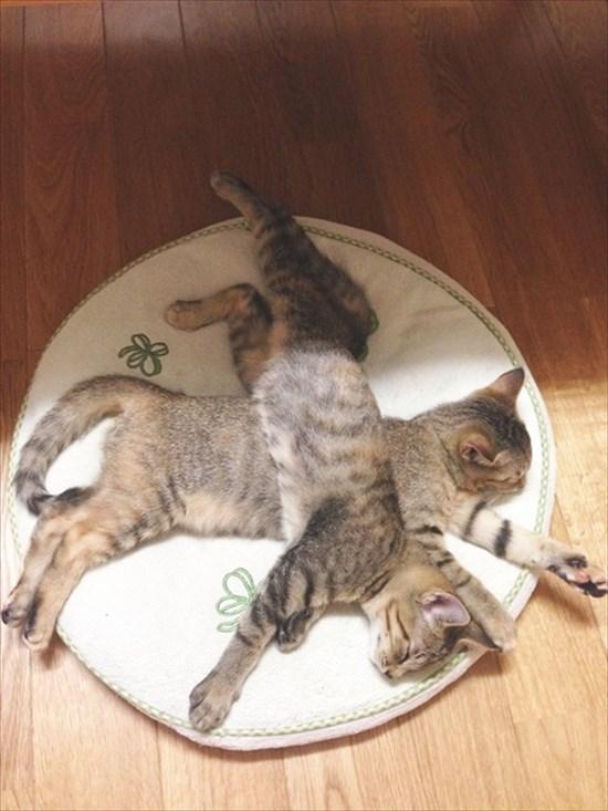 猫の上に猫!積み重なるネコたちの可愛すぎる画像11