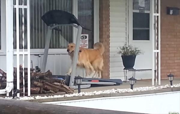 雨の日にルームランナーで走る犬3