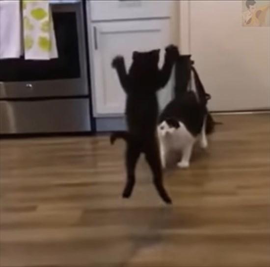 大人猫に飛びかかる子猫 猫プロレス2