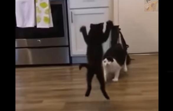 大人猫に飛びかかる子猫 猫プロレス1