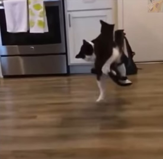 大人猫に飛びかかる子猫 猫プロレス3