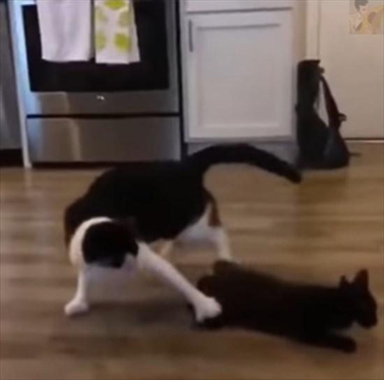 大人猫に飛びかかる子猫 猫プロレス5
