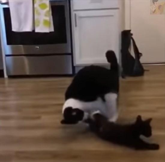 大人猫に飛びかかる子猫 猫プロレス4